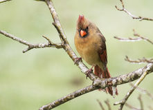 A red Cardinal female sits in an ice storm. stock images