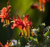 Red Cardinal Flower Back Lit Stock Photo