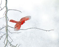 Red Cardinal Flying in the Snow. A red Cardinal flies off a bare tree branch in a snowstorm stock image