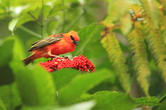 Red cardinal fody. The red cardinal fody standing on the blossoming flower stock photo