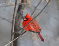Red cardinal in forest. Red cardinal in nature during winter royalty free stock images