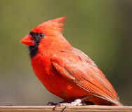 Red cardinal with green behind. Bright red male cardinal on a board with green behind royalty free stock image