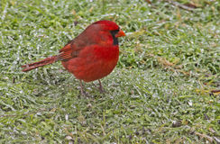 A red Cardinal in an ice storm. Royalty Free Stock Photo