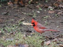 Red cardinal looking for food on rainy day. Tennessee rain, red male cardinal Royalty Free Stock Photo