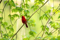 Red cardinal. Male red cardinal stock photo