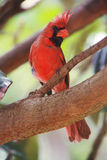 Red Cardinal Stock Photography