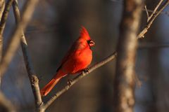 red cardinal in forest Royalty Free Stock Image