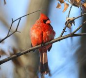 Red cardinal in nature Stock Images