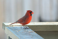 Red Cardinal. Red Northern Cardinal bird eating seeds on the deck. The background is blurry. It is a sunny February day but he is standing in the shade stock image