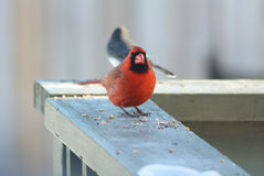 Red Cardinal and a friend. Red Northern Cardinal bird eating seeds on the deck. The background is blurry. It is a sunny February day but he is standing in the stock photo
