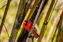 Red Cardinal Perched Between Bamboo and Looking Out. Red cardinal perched between bamboo and looking to side on a sunny day royalty free stock photography