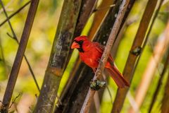 Red Cardinal Perched Between Bamboo and Looking to Side. On a sunny day royalty free stock photos