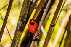 Red Cardinal Perched Between Bamboo and Making Eye Contact on Sunny Day. Red cardinal perched between bamboo and making eye contact on a sunny day royalty free stock image