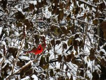 Red cardinal perched on a branch covered of snow. In winter royalty free stock images