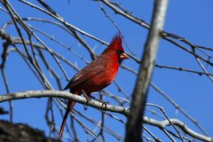 Red Cardinal Perched in a Tree. At Choke Canyon State Park, Texas stock photo