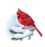 Red cardinal Stock Images