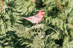 Red cardinal pirched up on branch of evegreen tree Royalty Free Stock Photography