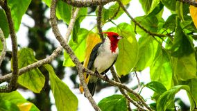 Red cardinal at rest. Red crested cardinal colorfully decorates this tree, as he rests on a branch stock image