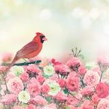 Red Cardinal In Rose Garden. Red Cardinal Bird Perches In Rose Garden royalty free stock photo