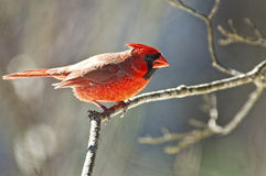 Red Cardinal sits on aa tree branch. Royalty Free Stock Photos