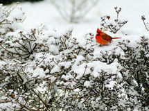 Red Cardinal sits on a snowy bush. Red male Cardinal sitting on a snowy bush royalty free stock photos