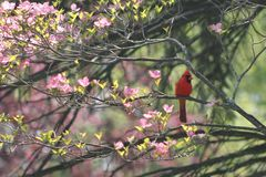 Red cardinal sitting in a dogwood tree. A beautiful red male cardinal perched on a branch in a pink flower dogwood tree stock photography