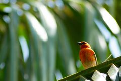 Red cardinal sitting on palm tree royalty free stock photography