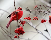 Red Cardinal sitting in a tree with Red Berries. Red Cardinal Bird sitting in a tree in the winter months Stock Photos