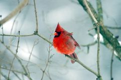 Red Cardinal In Snow. Storm Royalty Free Stock Photo