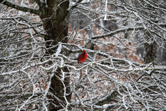 Red Cardinal in snow. Red Cardinal bird sitting on branch of tree after snowfall royalty free stock photo