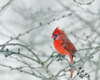 Red Cardinal in a Snow Storm Stock Image