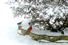 Red Cardinal in the snow under a bush. Stock Images