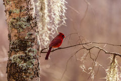 Red Cardinal and Spanish Moss. Red Cardinal with a back drop of spanish moss photographed in the bayou of Brazos Bend State Park in Texas Royalty Free Stock Photos