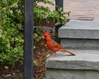 Red cardinal standing on a step in the Dallas Arboretum and Botanical Gardens. Pictured is a red cardinal standing on a step in the Dallas Arboretum and royalty free stock photography