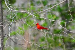 Red Cardinal in a tree. Red male Cardinal on a branch of a tree royalty free stock image