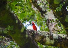 Red Cardinal in the Tree with Bokah in Maui Hawaii stock photo