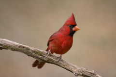 Red cardinal on tree limb Royalty Free Stock Image