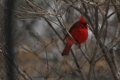 Red Cardinal on Tree Limb in Winter. Red male cardinal perched on a tree limb during a cold winter day. His feathers are puffed up to keep warm Stock Image