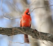 Red cardinal on a tree Royalty Free Stock Photos