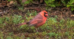 Male Northern Cardinal, Passerina stock photos