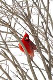 Red Cardinal Watching Royalty Free Stock Images