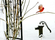 Red Cardinal with wings spread on top of an old iron water pump. Stock Photos