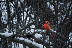 Red Cardinal in Winter. Pearched Male Red Cardinal in Winter Stock Photo