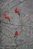 Red Cardinals. Three colorful red cardinal birds sitting in a leafless tree outdoors royalty free stock image