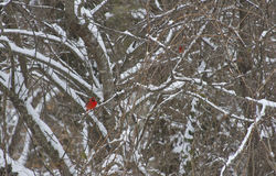 Red Cardinals in the Snow Royalty Free Stock Image