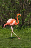 Red caribbean flamingo dancing. Flamingos are inhabitants of tropical and subtropical areas Royalty Free Stock Photo