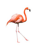 Red caribbean flamingo dancing. Dancing red caribbean flamingo  isolated on white with clipping path Stock Photos