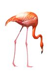 Red caribbean flamingo seeking stock photography