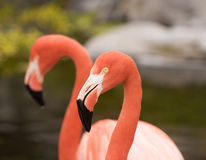 Red caribbean flamingos, close up. Stock Photos