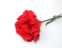 Red Carnation Stock Images